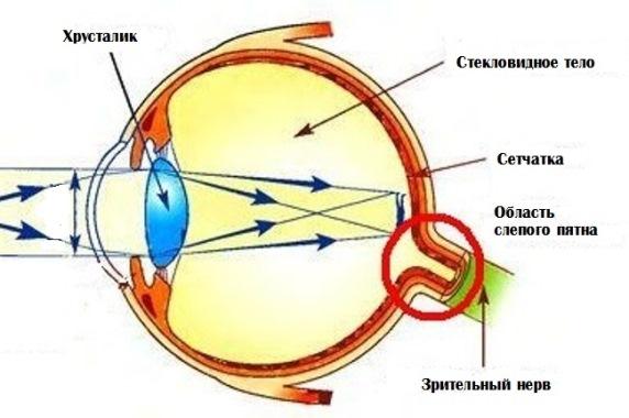 Строение глаза и хрусталик
