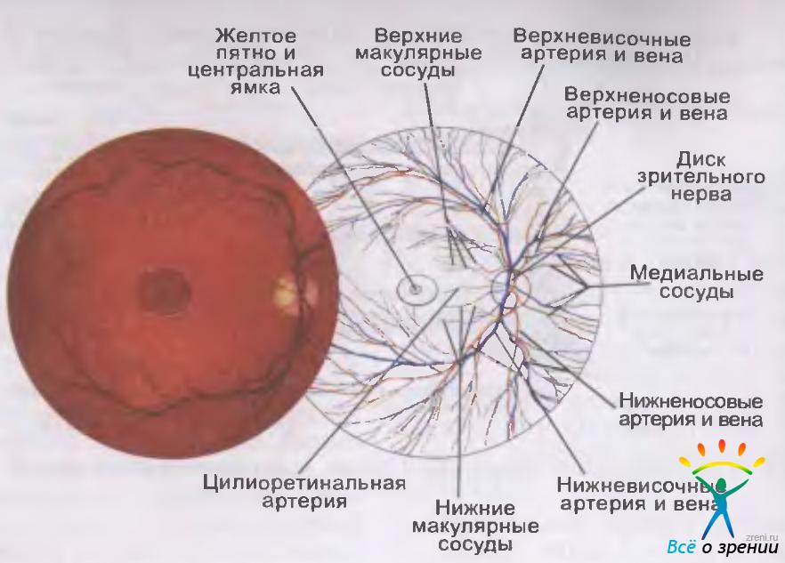 Структура глазного дна
