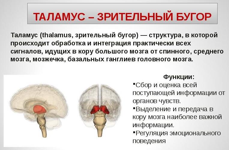 Что такое таламус и его функции