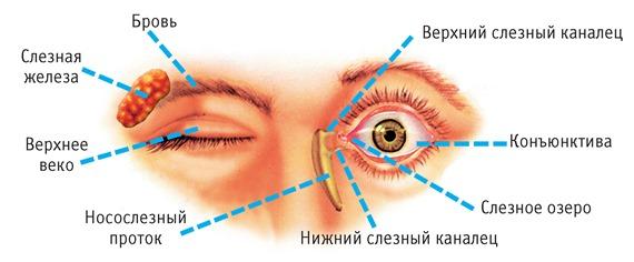 Веки и слезные железы глаза