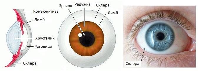 Склера глаза человека