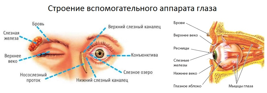 Строение вспомогательного аппарата глаза