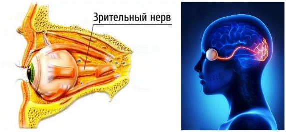 Зрительный нерв человека