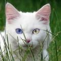 Кот с разными глазами